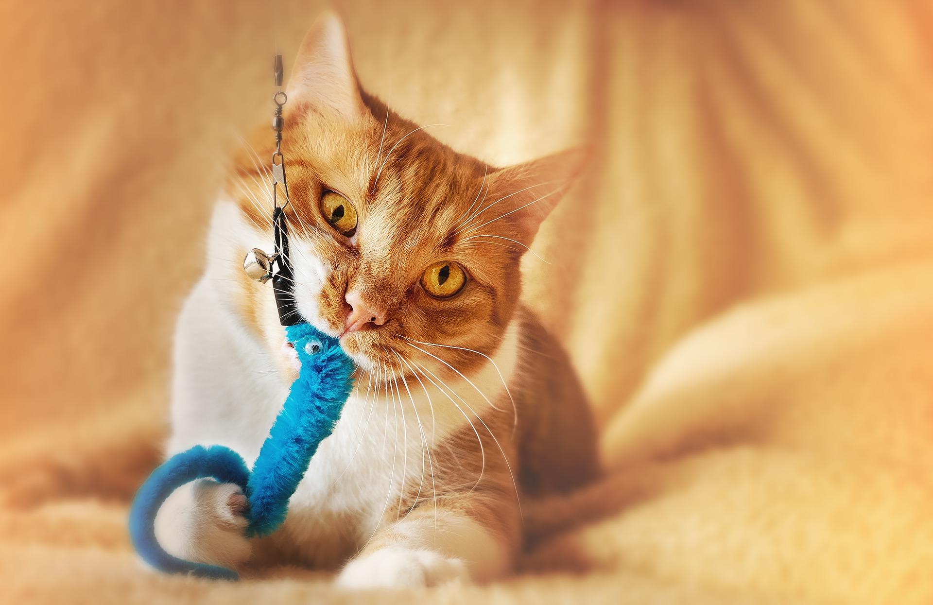 Kodėl reikia žaisti su kate? Kaip žaisti su augintiniu?