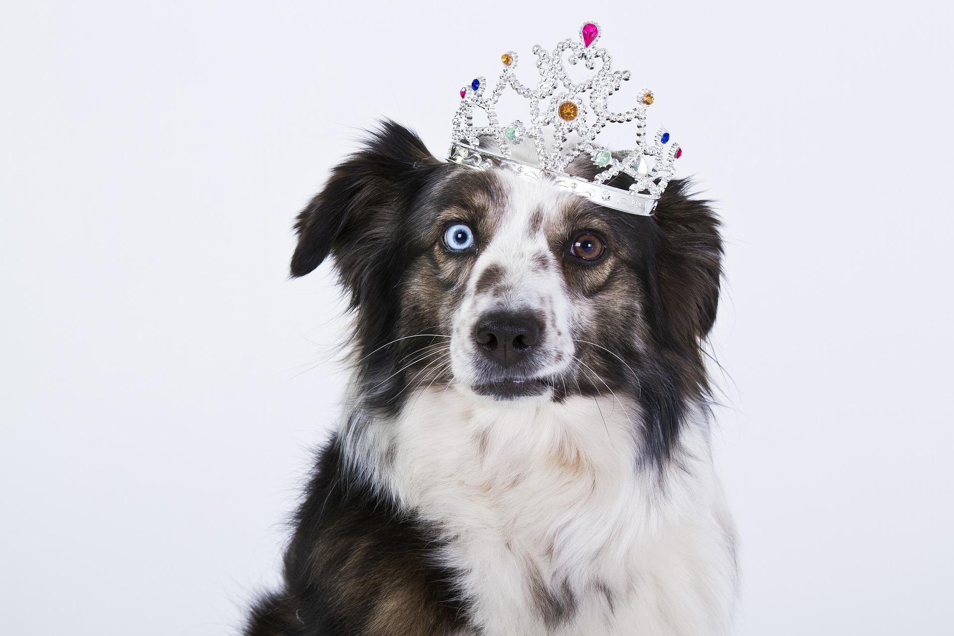 Šunų konjunktyvitas - priežastys, simptomai, gydymas