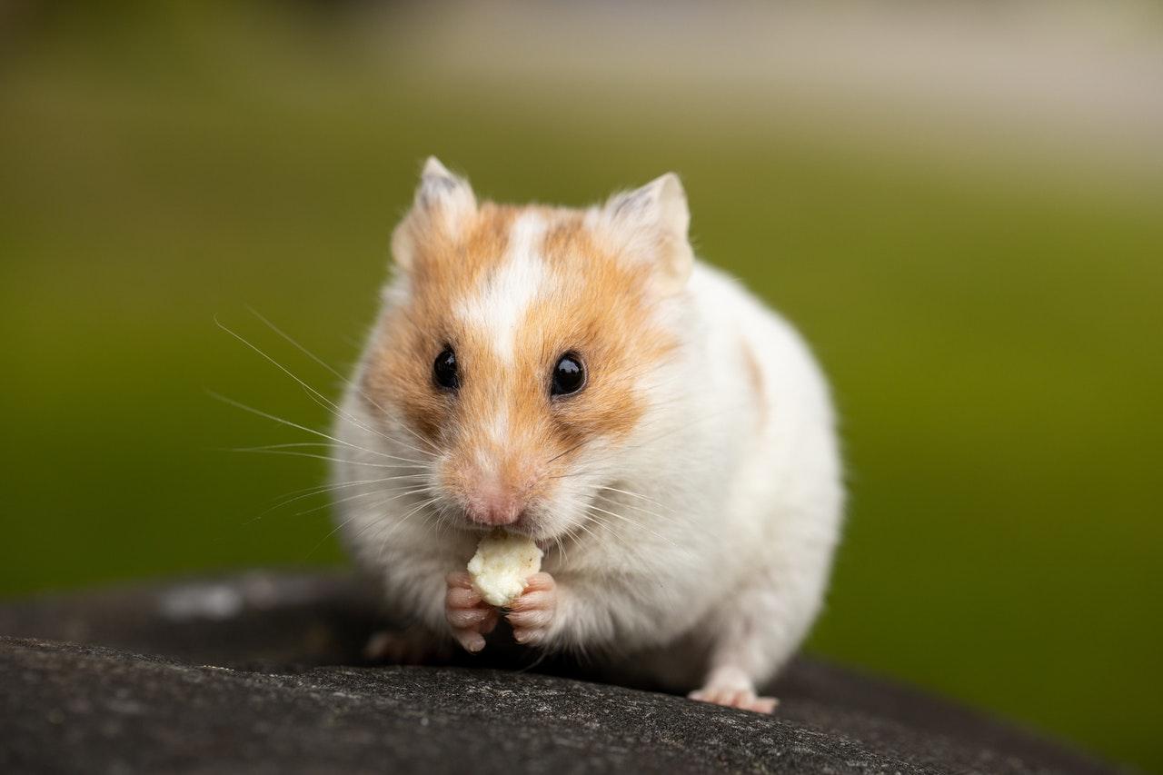 Ką gali valgyti žiurkėnas? Kaip turėtų atrodyti šio gyvūno mityba?