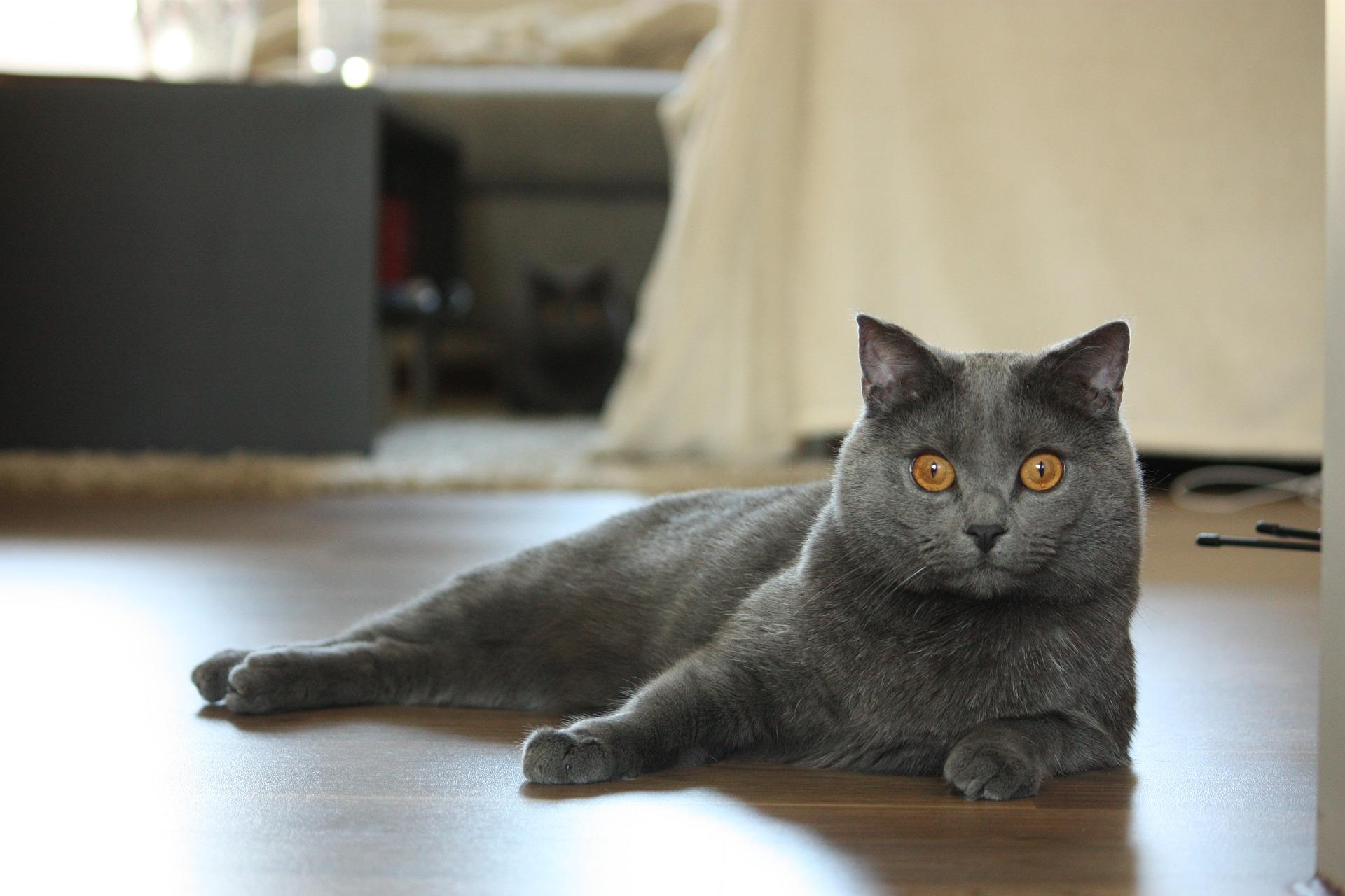 Kartezianinė katė - svarbiausia informacija apie veislę