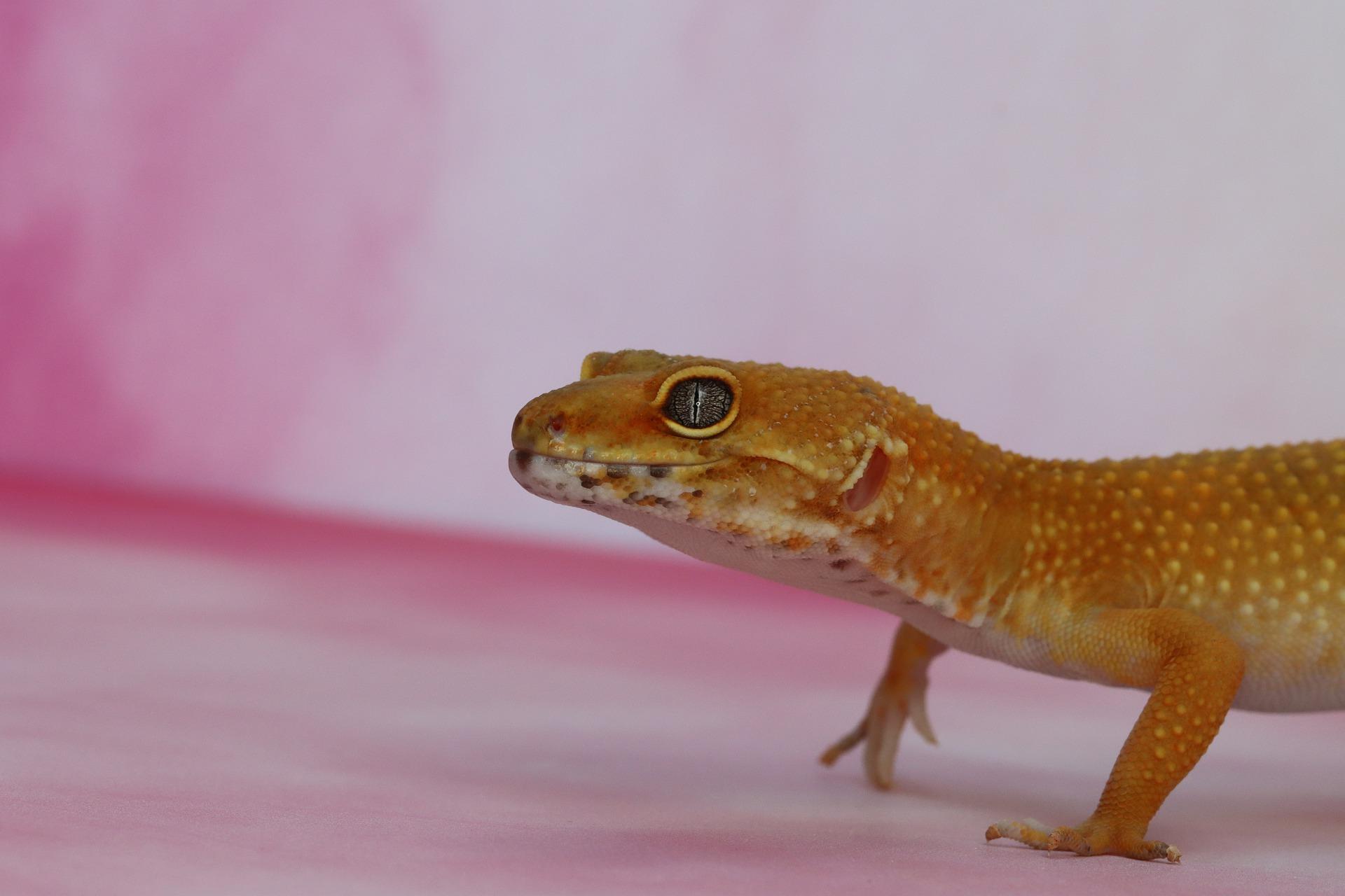Gekonas - gekono auginimas namuose. Svarbiausia informacija apie gekonų rūšis ir veisimo reikalavimus