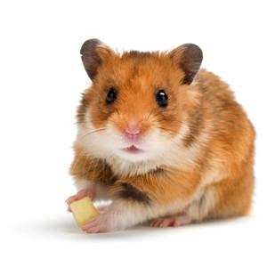 Žiurkėnų maistas