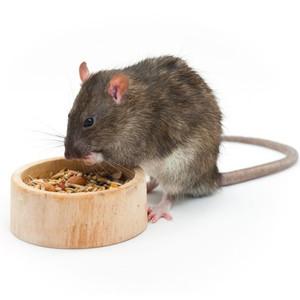 Žiurkių maistas