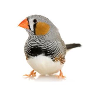 Mažų paukščių maistas