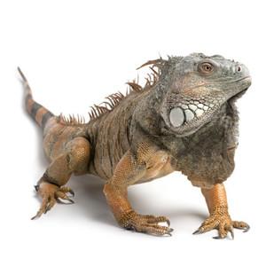 Iguanų maistas