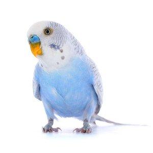Paukščių odos ir plunksnų priežiūra