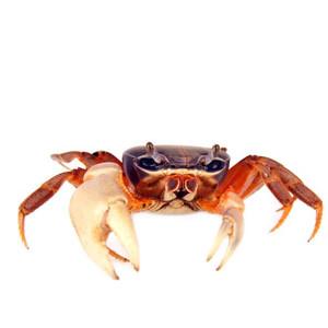 Krabų maistas